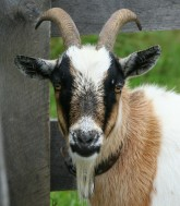 goat-58893_1280